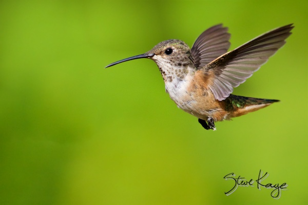 Allen's Hummingbird, Female, © Photo by Steve Kaye, in Green Business