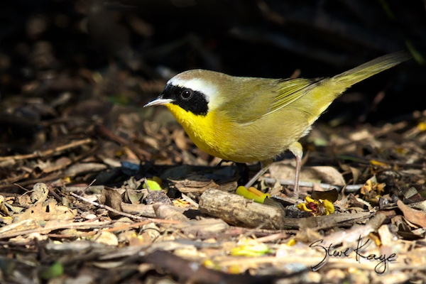 Common Yellowthroat, © Photo by Steve KayeMale, in How to Be Lucky