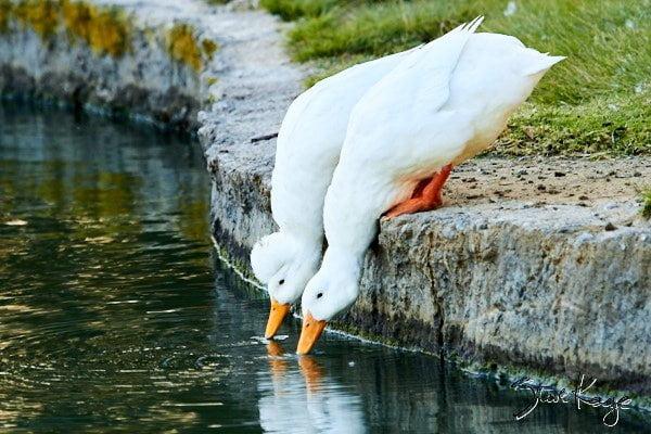 Domestic Ducks, (c) Photo by Steve Kaye