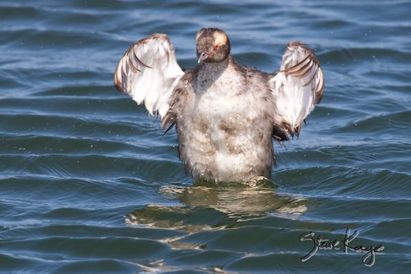 Horned Grebe, © Photo by Steve Kaye, in post: Kids Ask the Most Incredible Questions