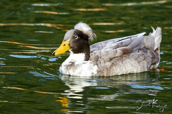 Domestic Duck, (c) Photo by Steve Kaye, in blog post: Have You Seen These Odd Ducks?
