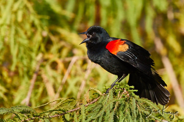 Red-winged Blackbird, © Photo by Steve Kaye, in blog Manifesto for the Birds