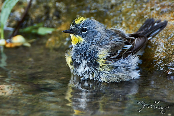 Yellow-rumped Warbler, © Photo by Steve Kaye, in post Wet Warblers