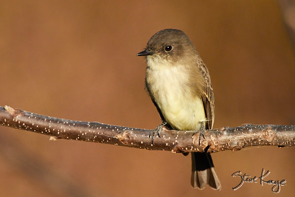 """Eastern Phoebe, © Photo by Steve Kaye, in blog post, """"More Than Thanksgiving"""""""