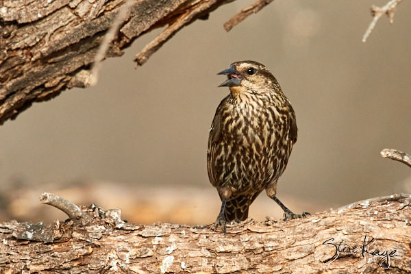 Red-winged Blackbird, Female, (c) Photo by Steve Kaye, in blog Manifesto for the Birds