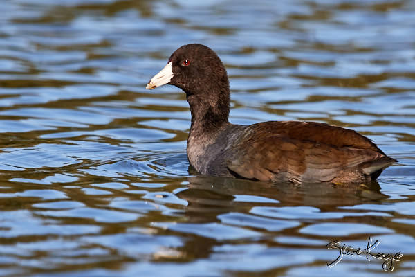 American Coot, (c) Photo by Steve Kaye, in blog post: No Content
