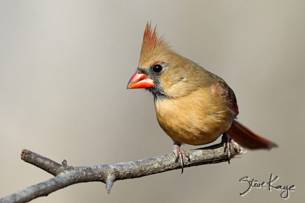 "Northern Cardinal, © Photo by Steve Kaye, in blog post, ""The Bird Next Door"""