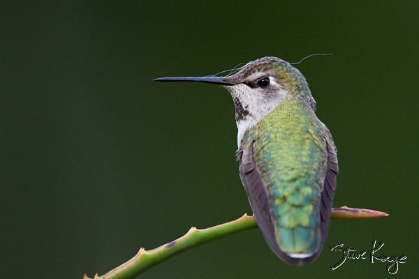 Anna's Hummingbird, Female, © Photo by Steve Kaye, in blog post: Signs of Spring