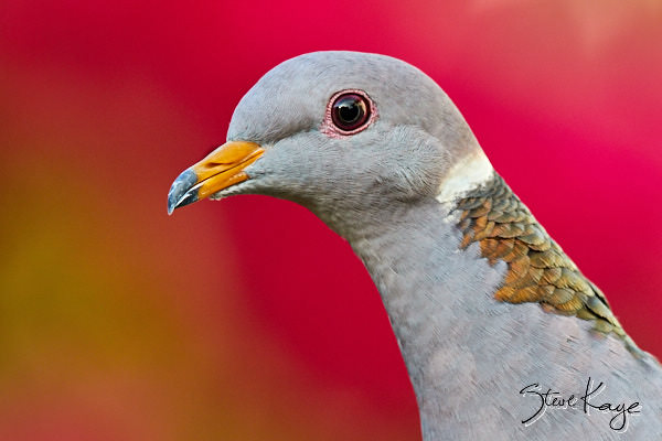 Band-tailed Pigeon, © Photo by Steve Kaye, in blog post: Instead of Regulations