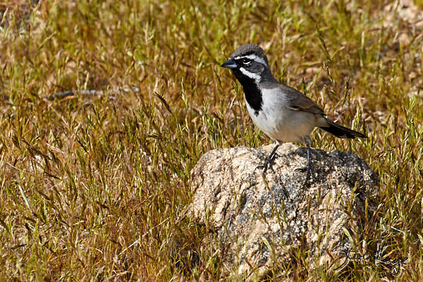 "Black-throated Sparrow, © Photo by Steve Kaye, in blog post, ""6 Ingredients for Bird Photography"""