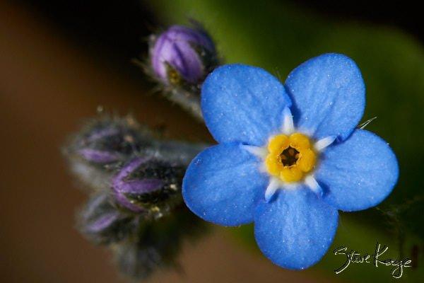 Myosotis, Forget-Me-Not, (c) Photo by Steve Kaye