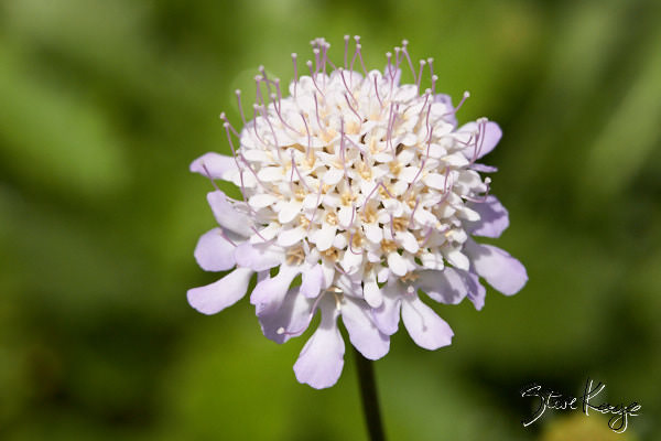 Pincushion Flower, (c) Photo by Steve Kaye