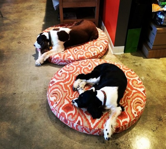 bisi and duke on their sunbrella dog beds by laurie bell