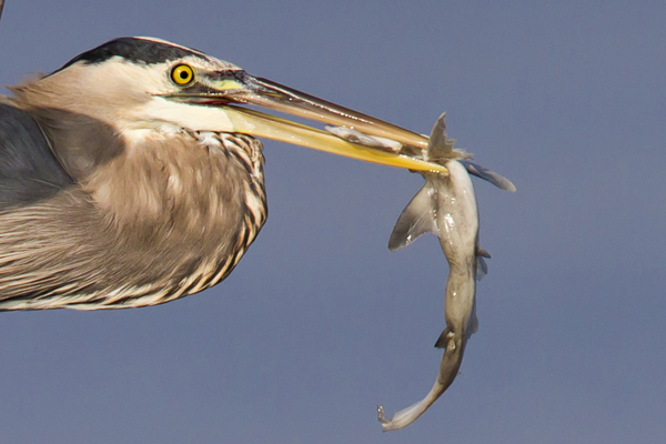 Great Blue Heron eating a shark