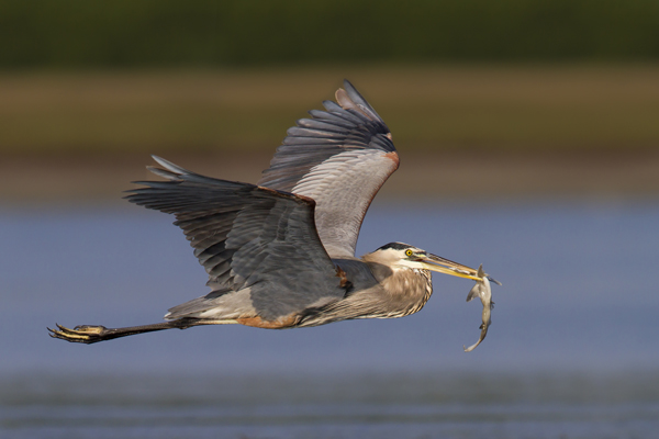 Great Blue Heron with a shark in its beak