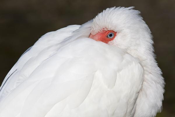 White Ibis sleeping - Fort Desoto