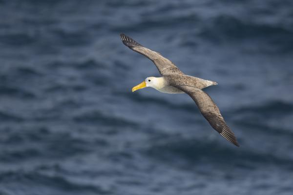 Waved Albatross in flight