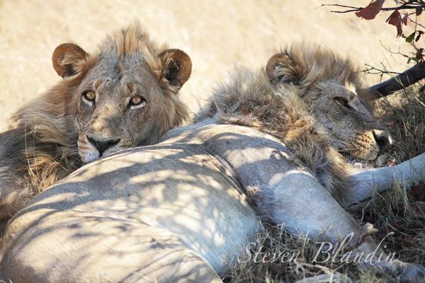 Lions sleeping in Savuti, Chobe National Park