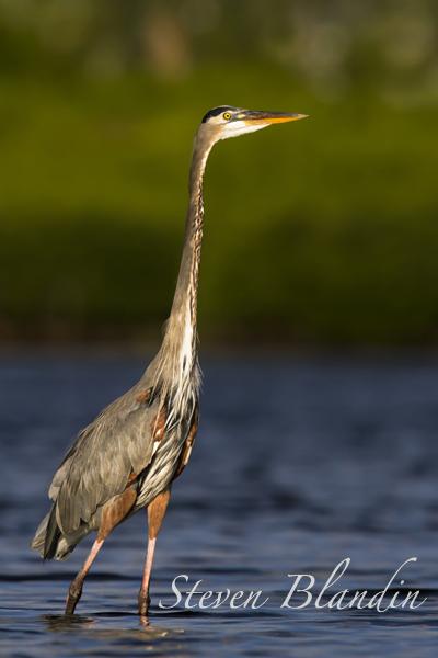 Great Blue Heron Long Bar Pointe, Sarasota Bay