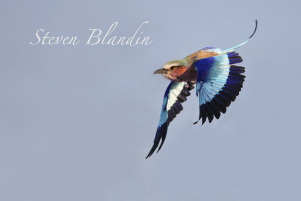 Lilac breasted roller in flight - Botswana