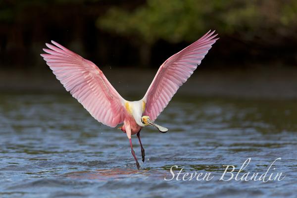 Roseate Spoonbill landing - Alafia Banks