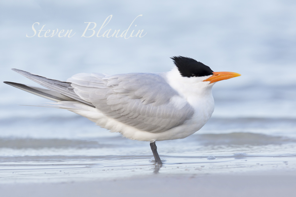 Royal Tern - Fort Desoto, Florida