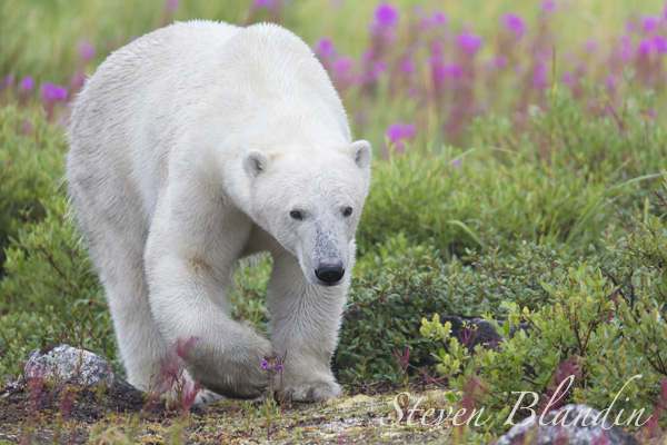 Polar Bear in the blooming fireweed - Canada