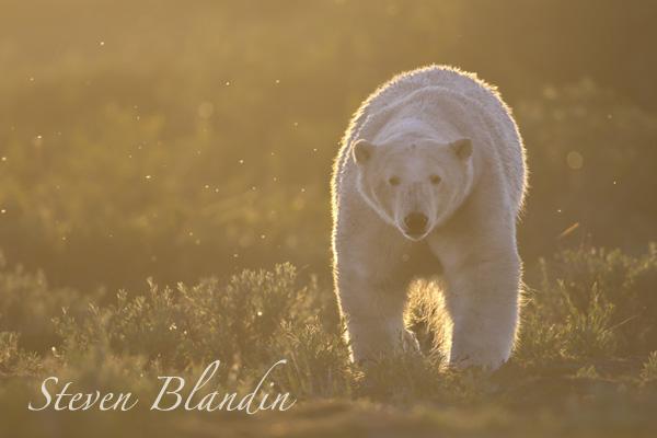 Polar Bear at sunset - Churchill, Canada
