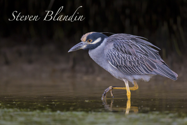 Yellow crowned Night Heron - Fort Desoto