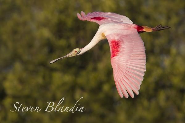 Roseate Spoonbill in flight - Alafia Banks workshop
