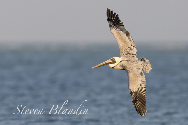 Brown Pelican banking in flight