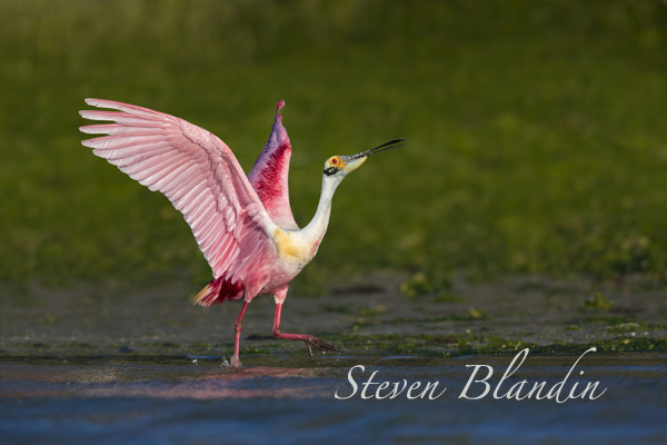 Roseate Spoonbill photography tour - Alafia Banks, Florida
