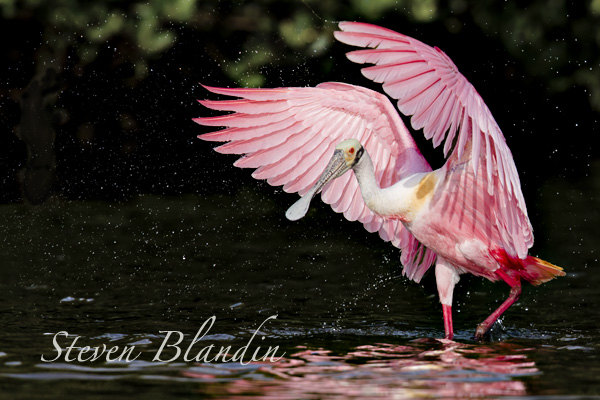 Roseate Spoonbill - bird photography workshop