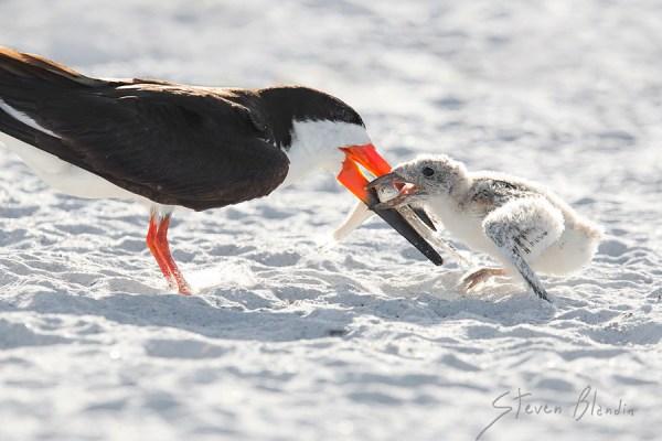 Black Skimmer feeding chick - Indian Shores, Florida