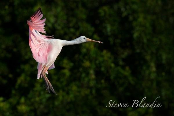 Young Juvenile Spoonbill in flight - Florida