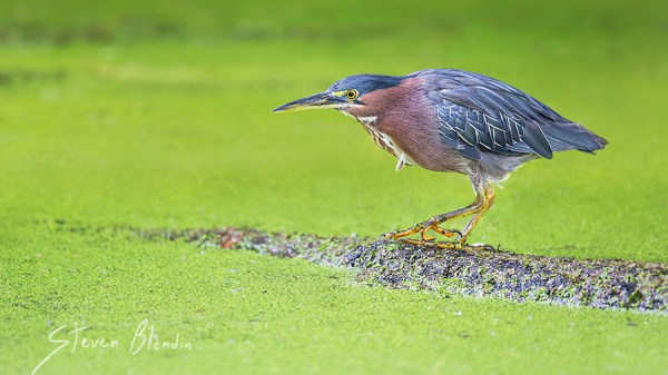 Green Heron - Circle B Bar, Florida