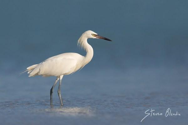 White morph Reddish Egret - Fort Desoto