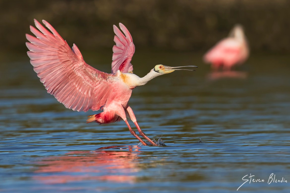 Roseate Spoonbill Photography Workshop