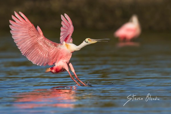 Roseate Spoonbill in the Tampa Bay
