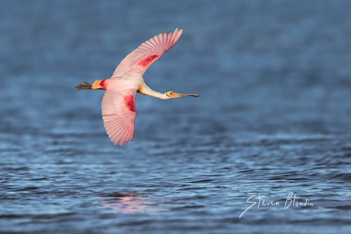 Roseate Spoonbill banking in flight above the blue water - Tampa Bay, Florida