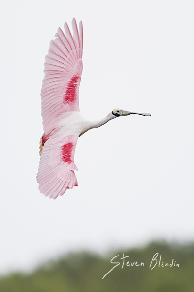 Spoonbill banking in flight - birds in flight photography