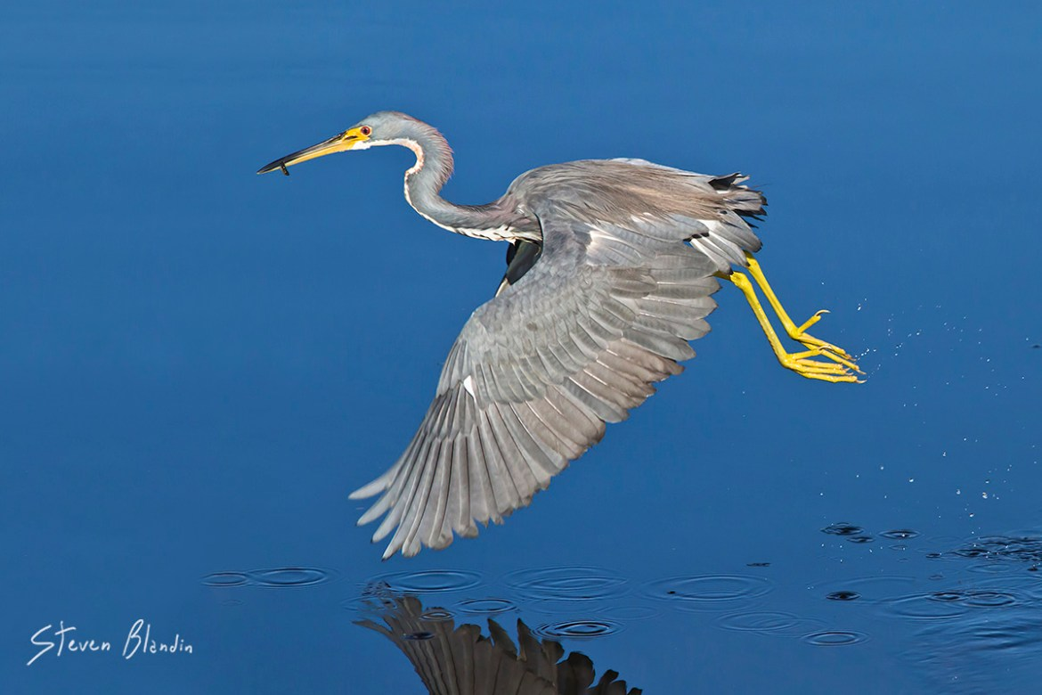 Tricolored Heron - Loxahatchee, Florida