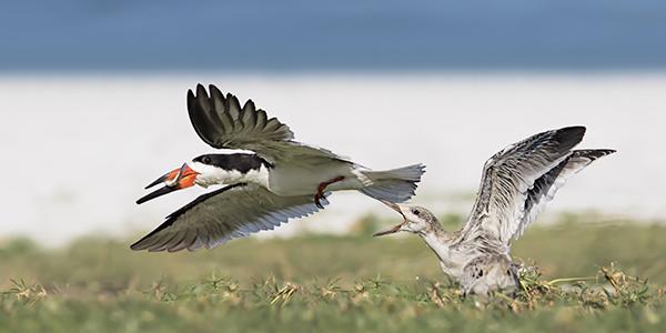 Black Skimmer chick chasing adult for food - Indian Shores, Florida