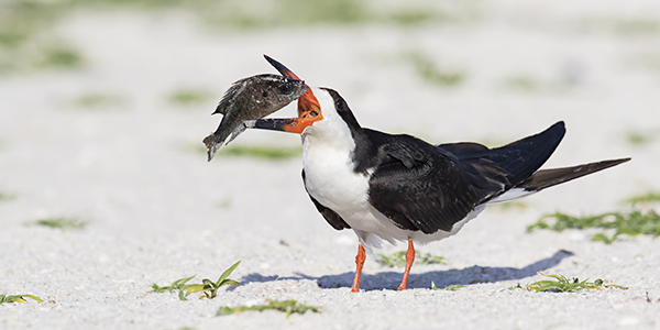Black Skimmer with big fish in its beak - Indian Shores, Florida