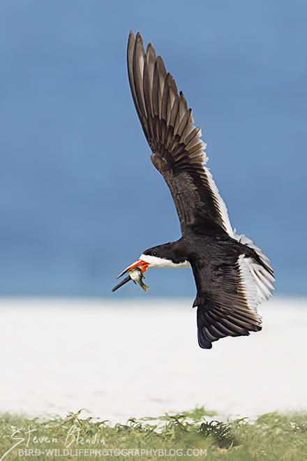 Black Skimmer in flight - Florida photography tour