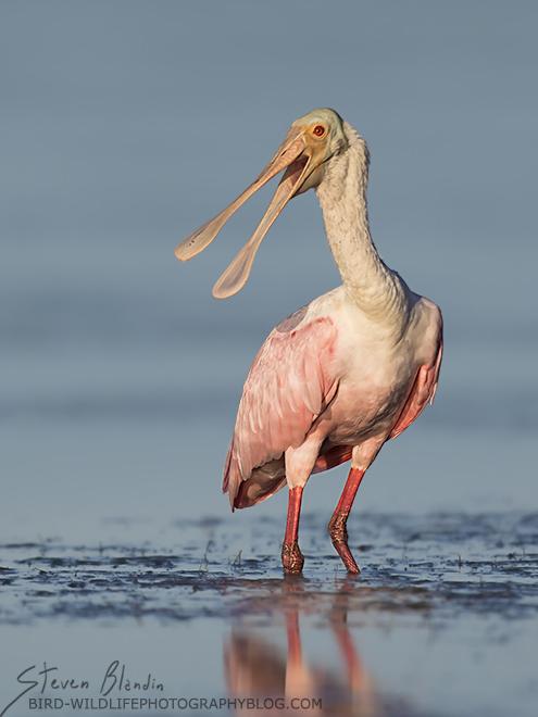 Roseate Spoonbill squawking - Sarasota Bay