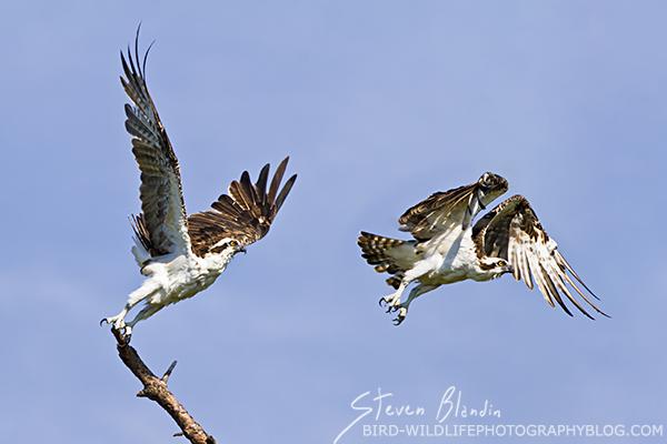 Osprey taking off - Bird Photography