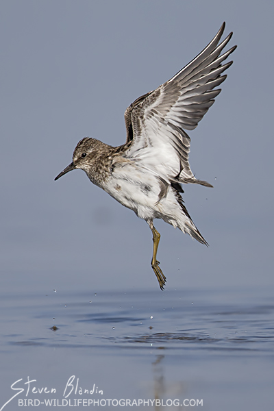 Least Sandpiper - Fort Desoto, Florida