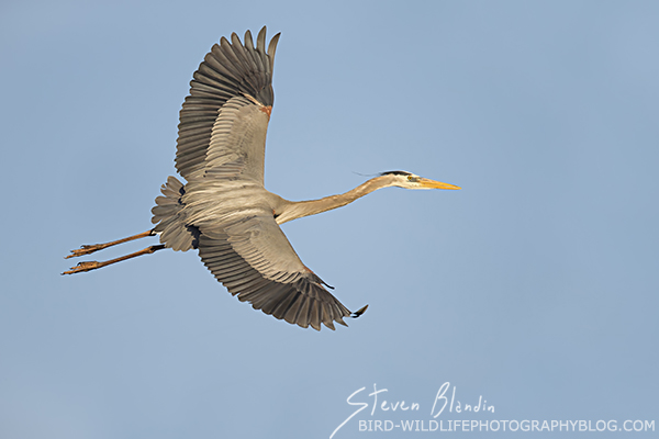 Great Blue Heron banking in flight
