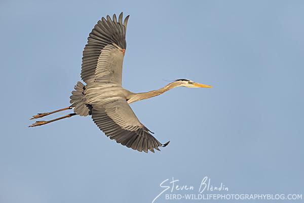 Great Blue Heron banking in flight